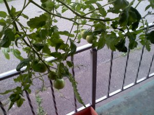 Tomato plant in Topsy Turvy outside my front door.