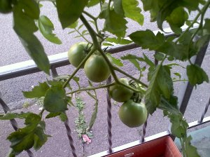 My Favorite Tomatoes on the plant
