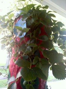 Recuperating Strawberries